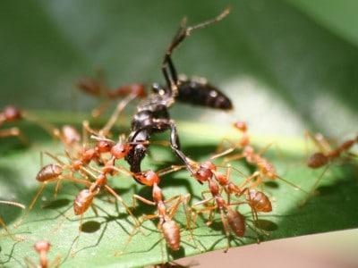 kiến vàng đi kiếm ăn