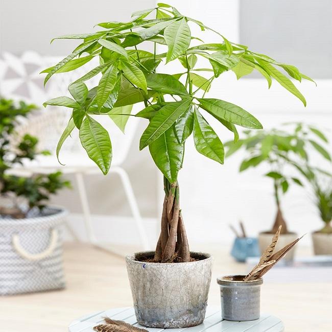 Đây là loài cây được giới công sở vô cùng yêu thích bởi sức sống mãnh liệt và dễ chăm sóc của chúng