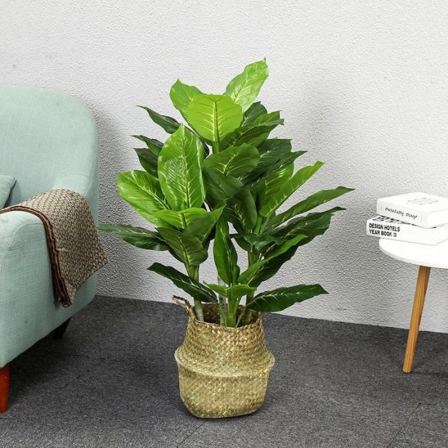 Loại cây này chịu được bóng tối tốt nên thích hợp để trong không gian kín như phòng ngủ hay phòng làm việc