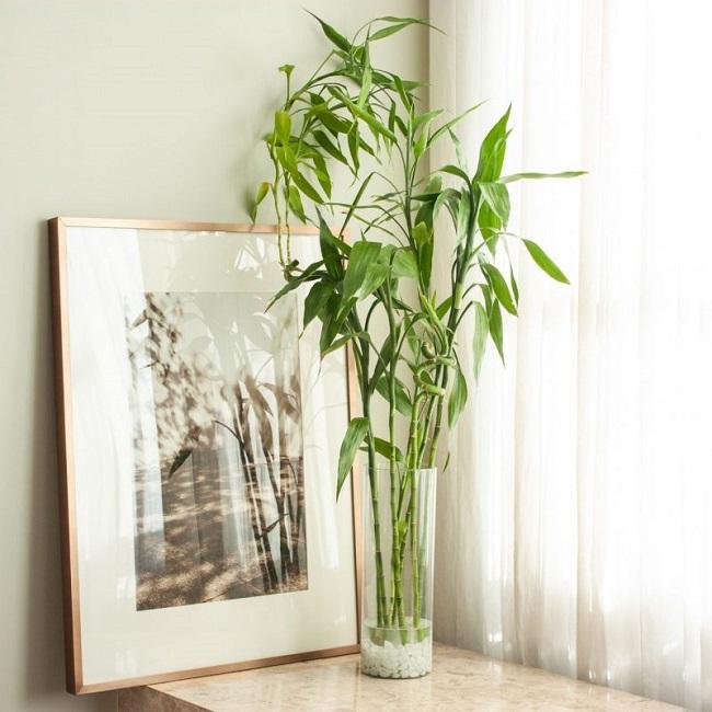 Trong phong thủy, cây tre được xem là bảo bối vì nó là biểu tượng của sự phú quý và sung túc